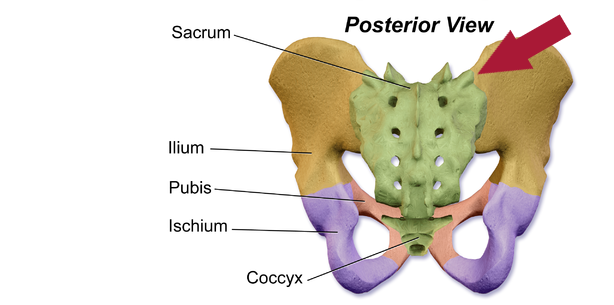 Posterior pelvis skeletal anatomy with SI joint pain